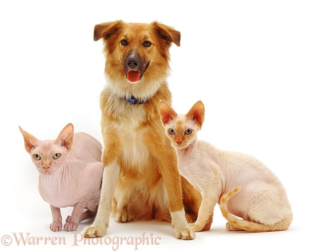 Collie-cross bitch, Bliss, with Sphynx cat and Devon Rex cat, white background