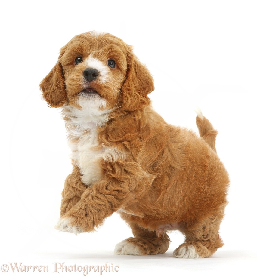 Cute playful Cockapoo puppy jumping up, white background