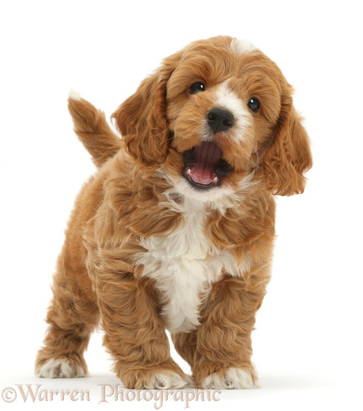 Cute playful Cockapoo puppy, white background