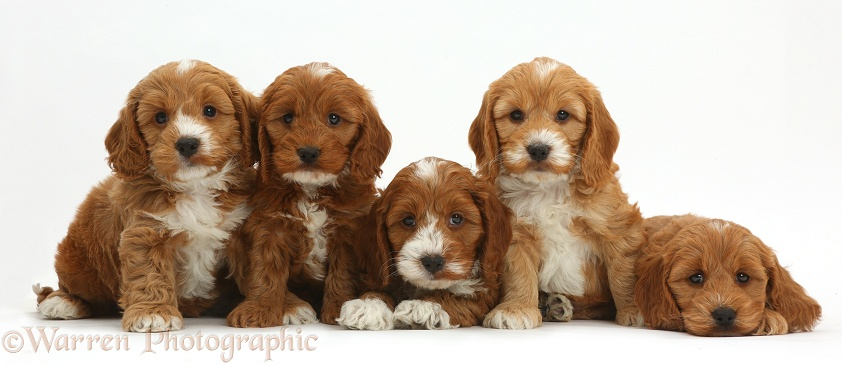 Five cute Cockapoo puppies in a row, white background