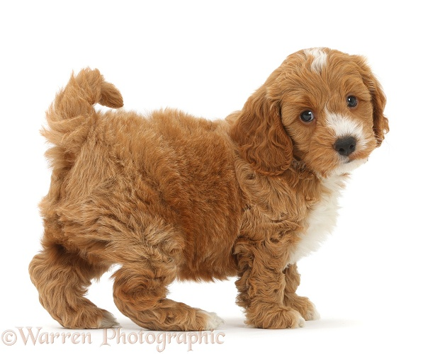 Cute Cockapoo puppy standing, white background
