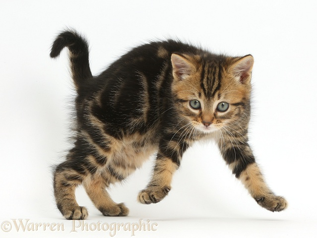Tabby kitten, 7 weeks old, jumping in a playful manner, white background