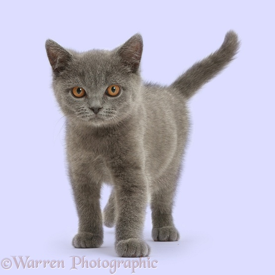 Blue British Shorthair kitten standing, white background