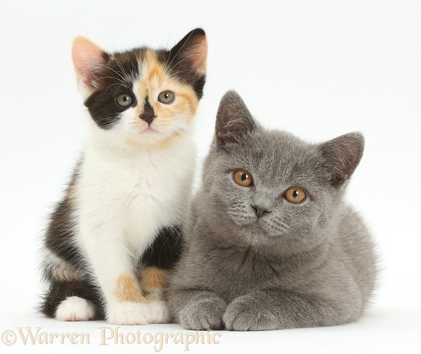 Tortoiseshell kitten and Blue British Shorthair kitten, white background