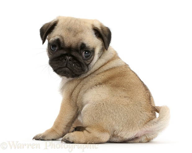 Pug puppy looking over shoulder, white background