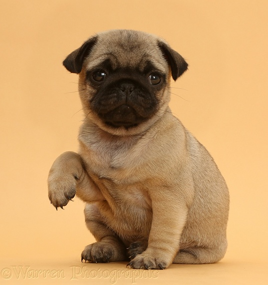 Pug puppy with raised paw on beige background