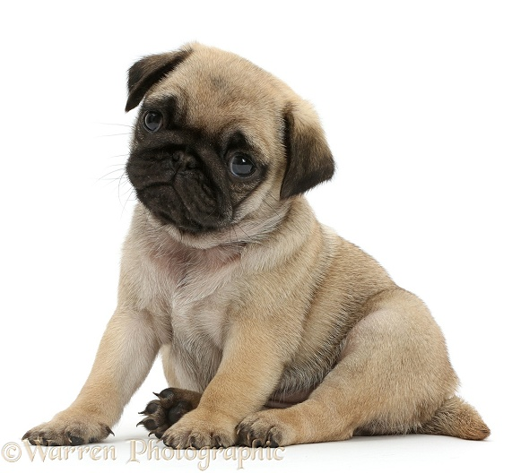 Pug puppy sitting, white background