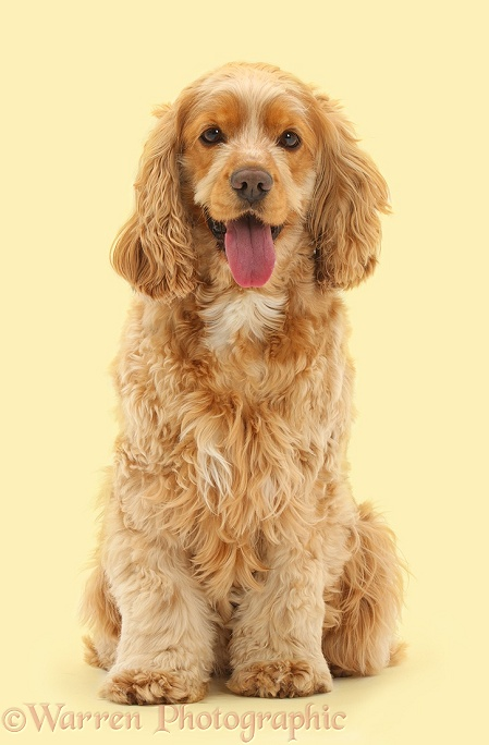 Golden Cocker Spaniel dog, Henry, 3 years old, sitting, white background