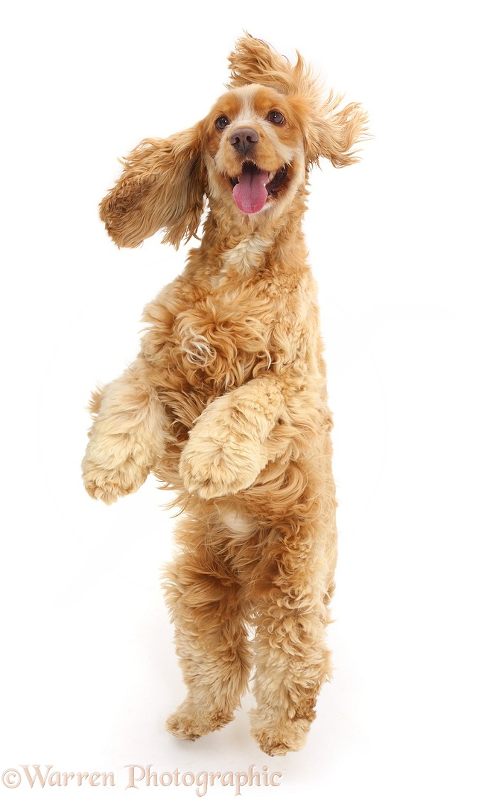 Golden Cocker Spaniel dog, Henry, 3 years old, jumping up, white background