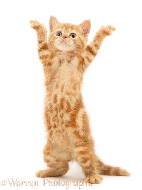 Red tabby British Shorthair kitten, reaching up and dancing YMCA, white background
