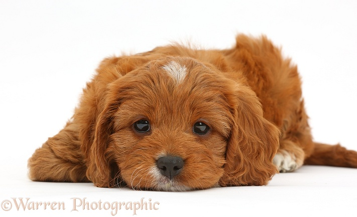 Cavapoo puppy, 6 weeks old, with chin on floor, white background