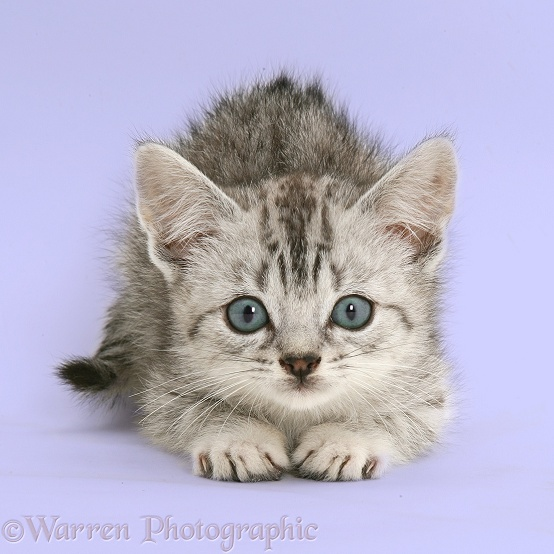 Silver tabby Bengal-cross kitten about to pounce