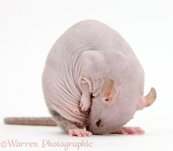 Sphynx Rat grooming in a rude and amusing manner, white background