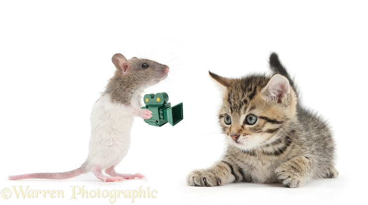 Tabby kitten, Stanley, 6 weeks old, being photographed by a baby rat, with plastic camera, white background