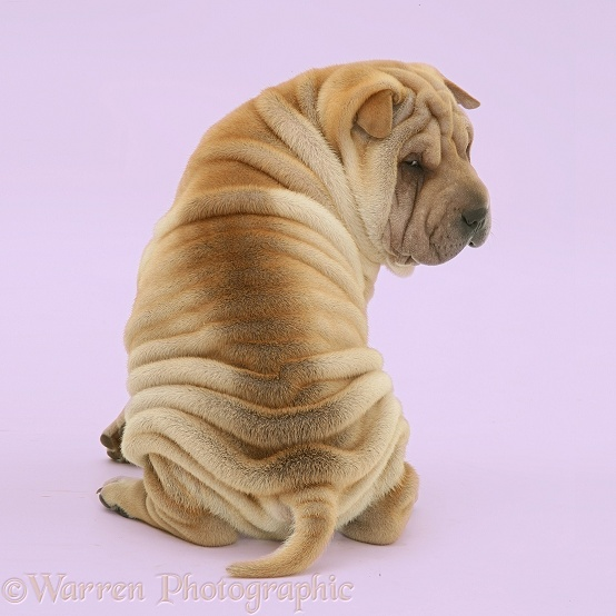 Shar-pei puppy, Beanie, looking over his shoulder