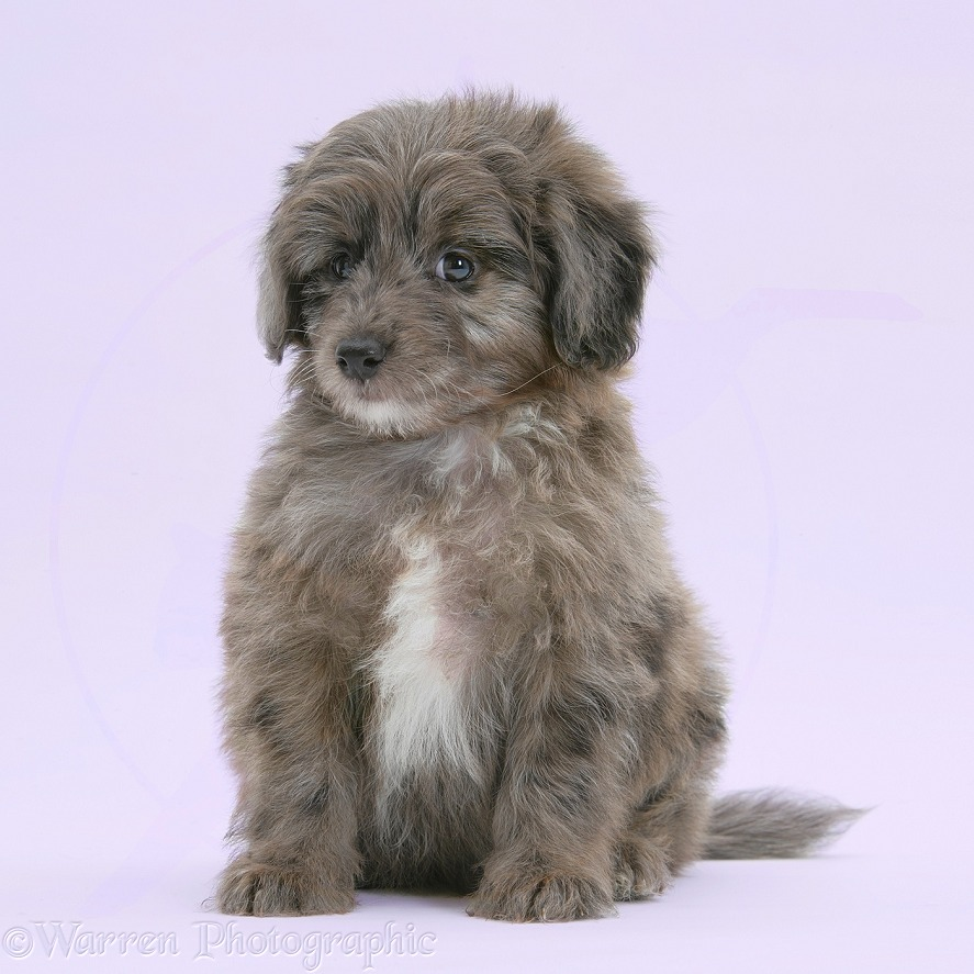 Shetland Sheepdog x Poodle pup, 7 weeks old, on lilac background, white background