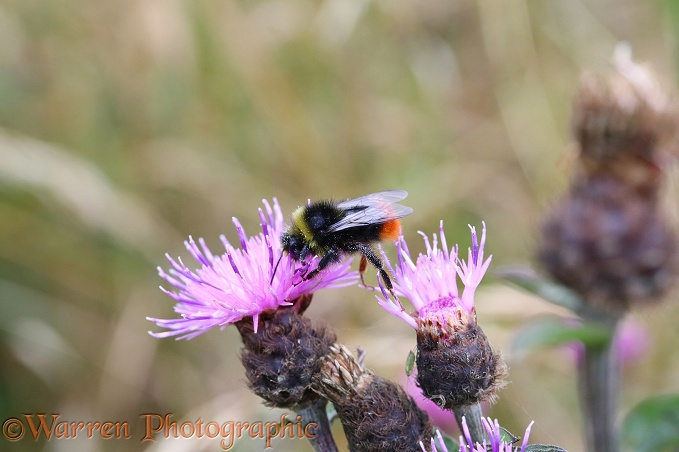 Early Bumble Bee (Bombus pratorum) visiting Knapweed