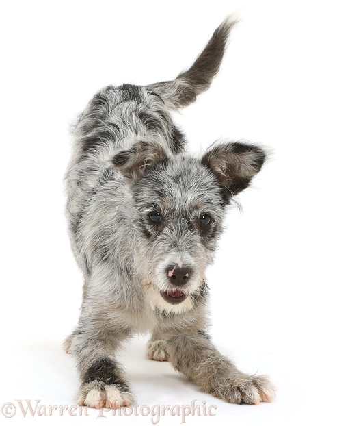 Blue merle mutt puppy in play-bow, white background