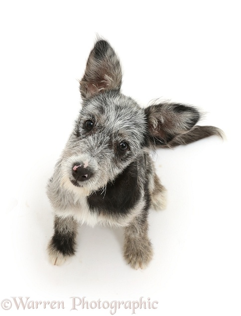 Blue merle mutt puppy sitting looking up, white background