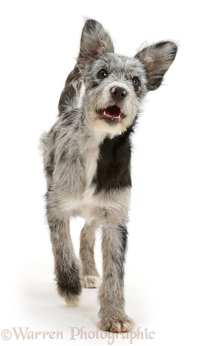 Blue merle mutt trotting, white background