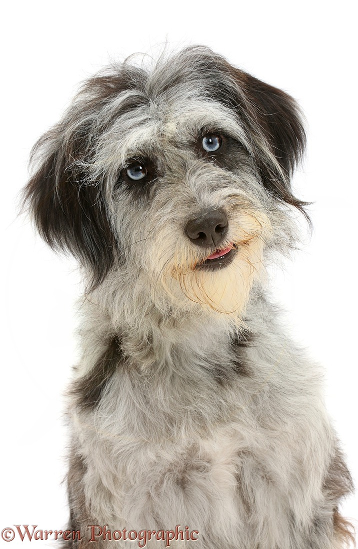 Blue merle Cadoodle mutt, white background