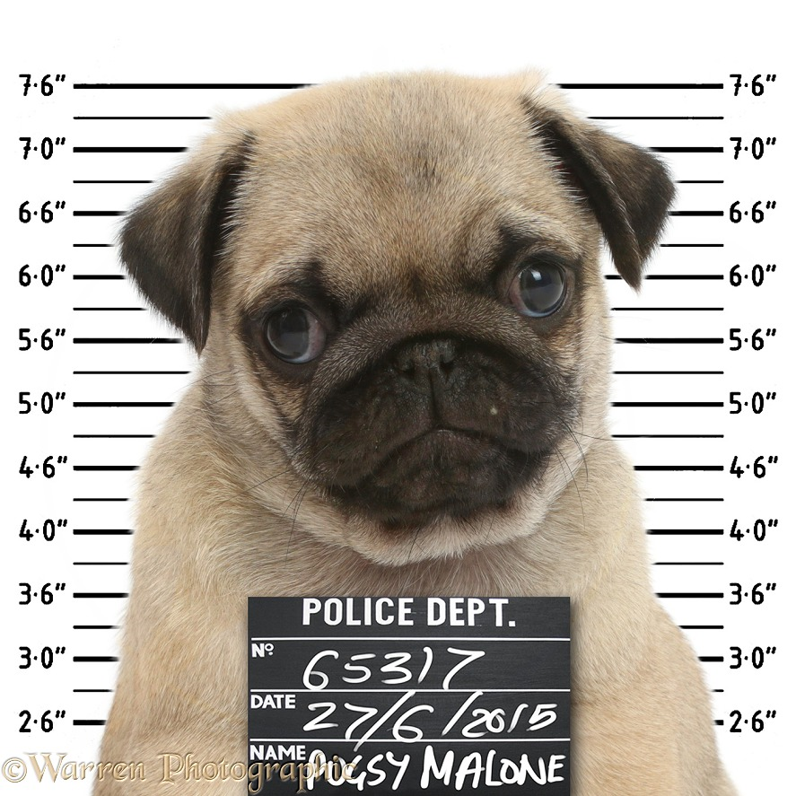 Pugshot, white background
