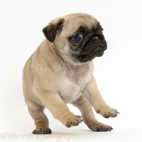 Playful Pug puppy standing and falling, white background