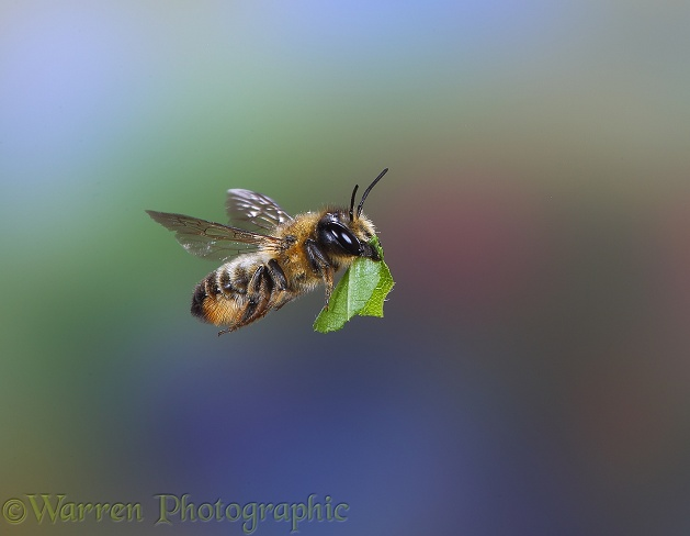 Leaf-cutting Bee (Megachile  species) carrying leaf section
