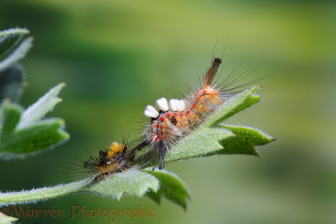 Vapourer Moth (Orgyia antiqua) caterpillar on Oriental Hawthorn with recently cast skin