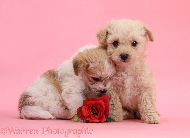 Two cute Bichon Frise x Yorkshire Terrier pups, 6 weeks old, with red rose on pink background