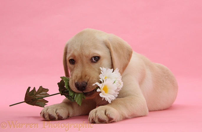 Yellow Labrador Retriever bitch pup, 10 weeks old, with white daisies