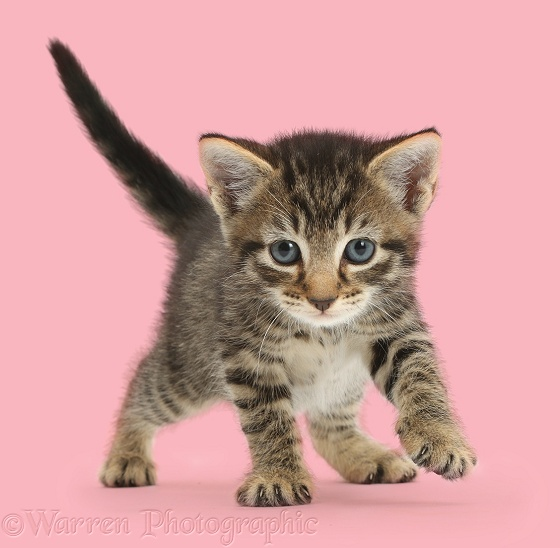 Adorable tabby kitten, 5 weeks old, walking, white background