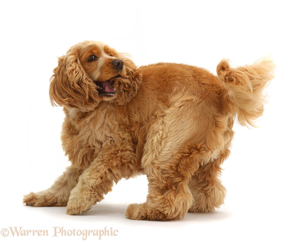 Golden Cocker Spaniel dog, Henry, 3 years old, turning on the spot, white background