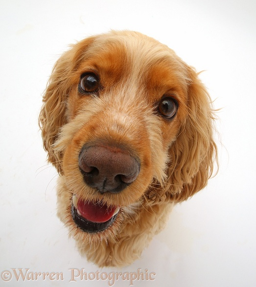 Golden Cocker Spaniel dog, Henry, 3 years old, sitting and looking up, white background