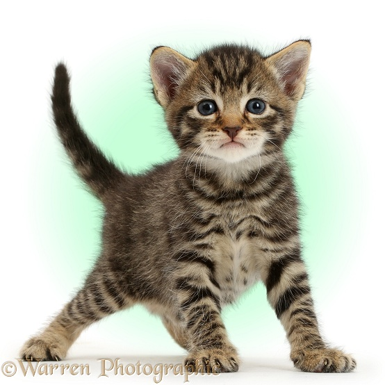 Cute tabby kitten, 4 weeks old, standing and looking affronted, white background