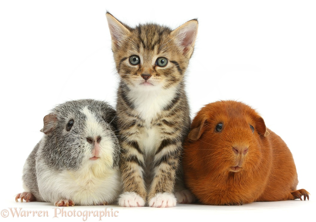 Cute tabby kittens, 5 weeks old, and Guinea pigs, white background