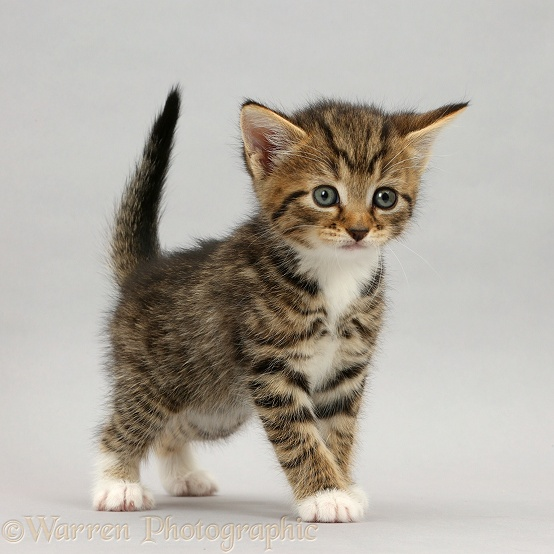 Tabby kitten, 5 weeks old, standing on grey background