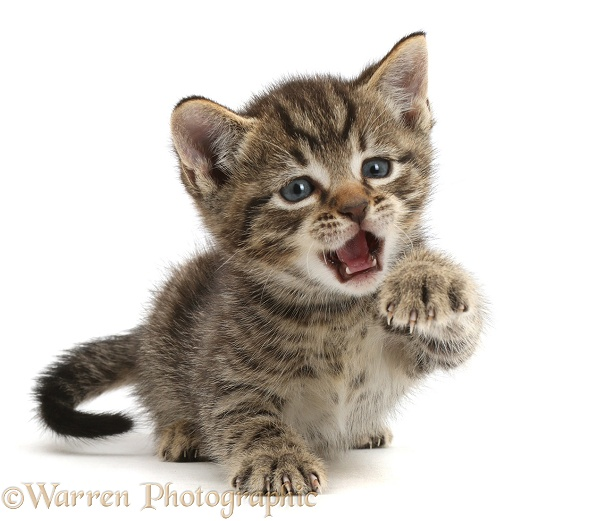 Small tabby kitten, 6 weeks old, with raised paw and open mouth, white background