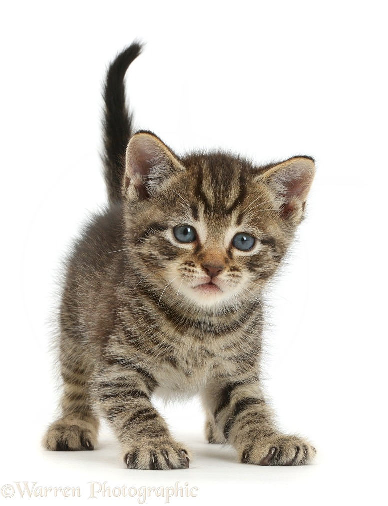 Cute tabby kitten, 4 weeks old, standing and looking slightly surprised, white background