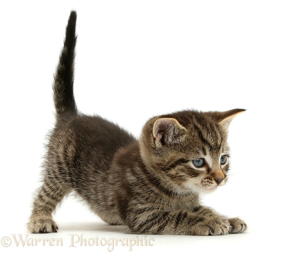 Small tabby kitten, 6 weeks old, in play-bow posture, white background