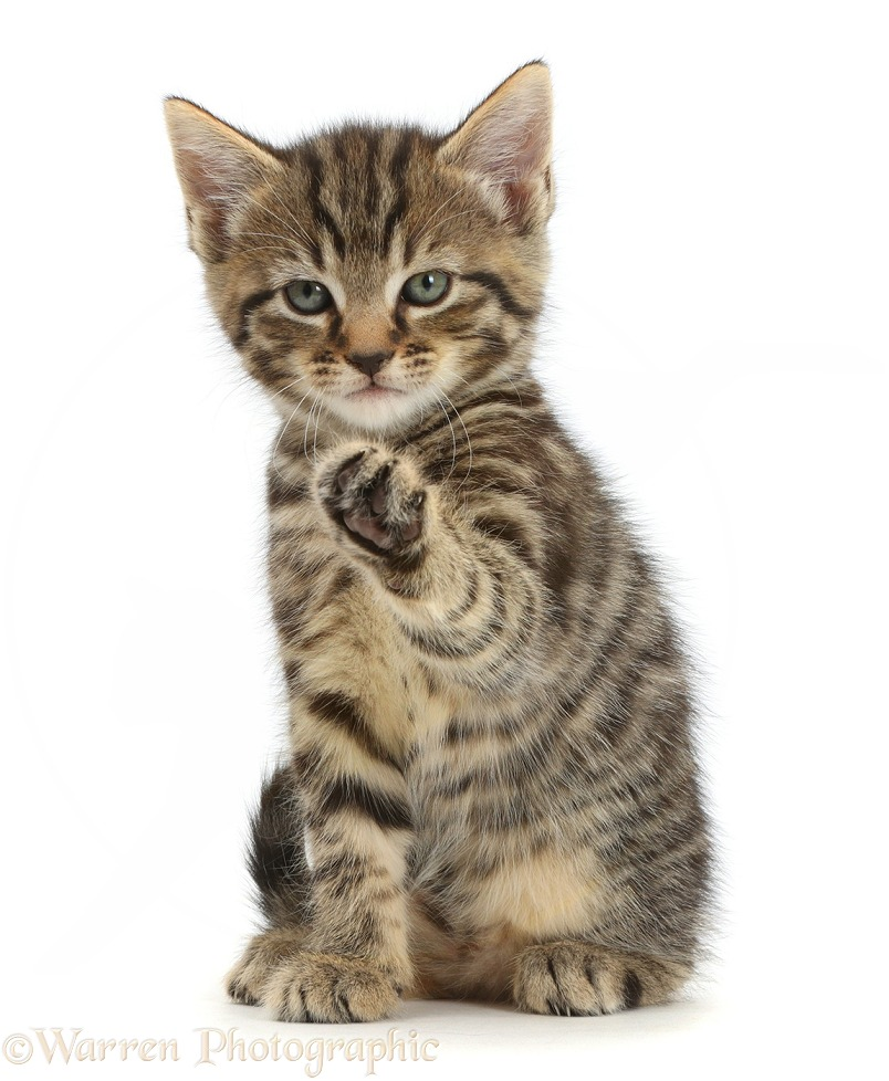 Tabby kitten, 6 weeks old, sitting with raised paw, white background