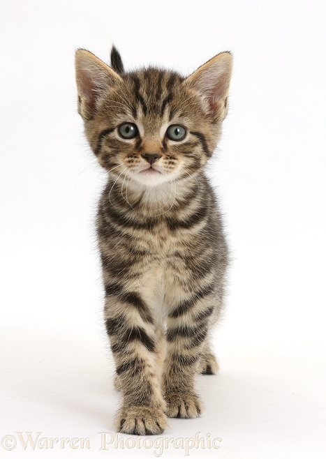 Tabby kitten, 6 weeks old, walking, white background