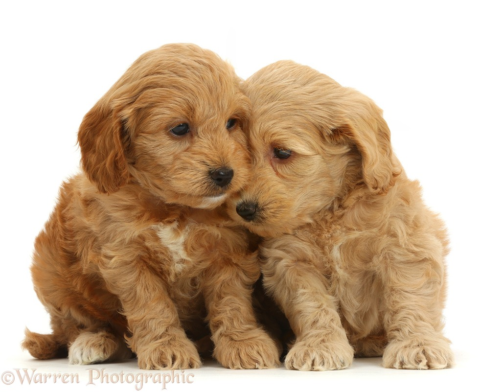 Adorable Cockapoo puppies, white background