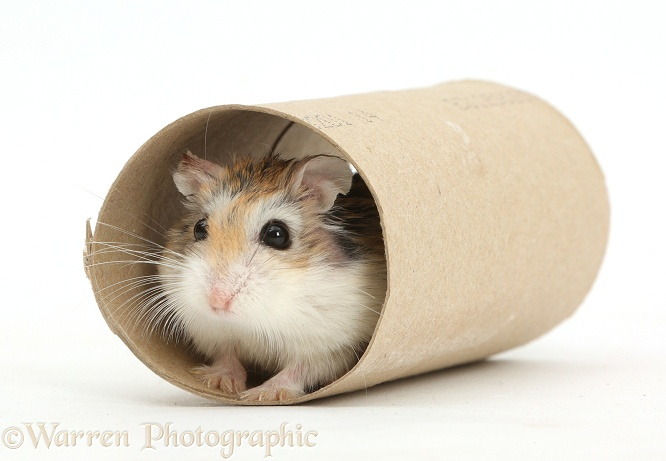 Roborovski Hamster (Phodopus roborovskii) in cardboard tube, white background