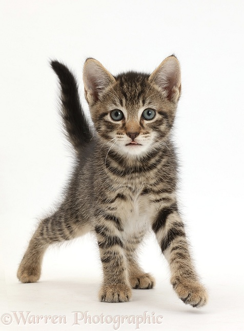 Small tabby kitten, 7 weeks old, walking, white background