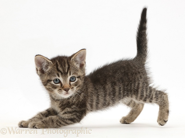 Small tabby kitten, 7 weeks old, in play-bow posture, white background