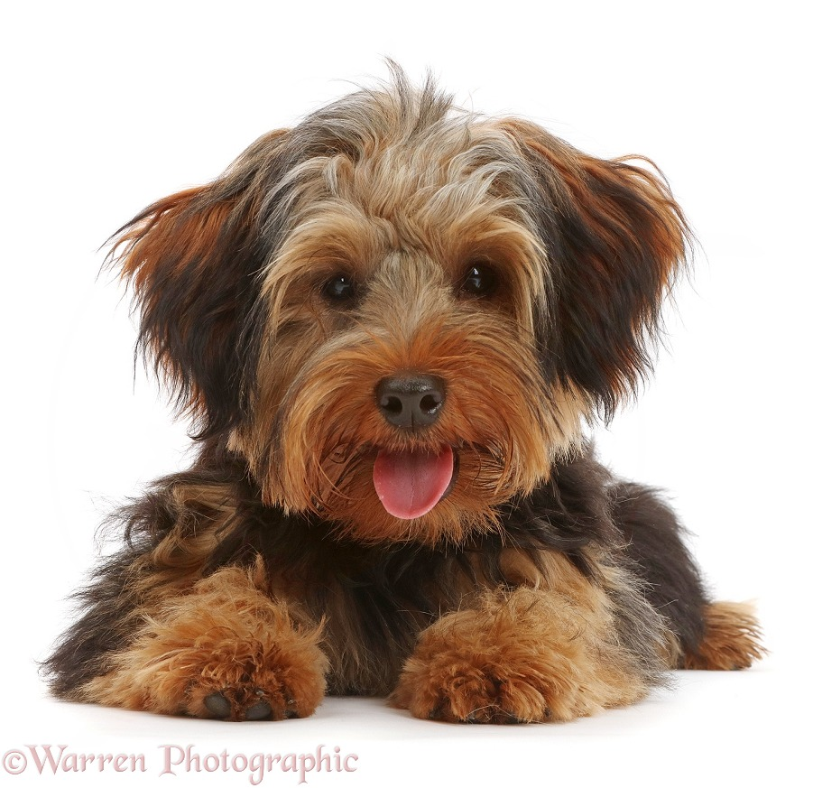 Yorkipoo dog, Oscar, 6 months old, with tongue out, white background