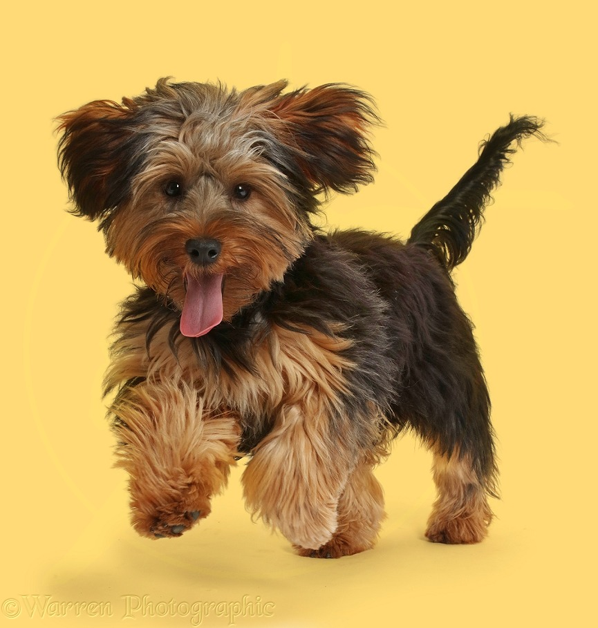 Yorkipoo dog, Oscar, 6 months old, running, white background