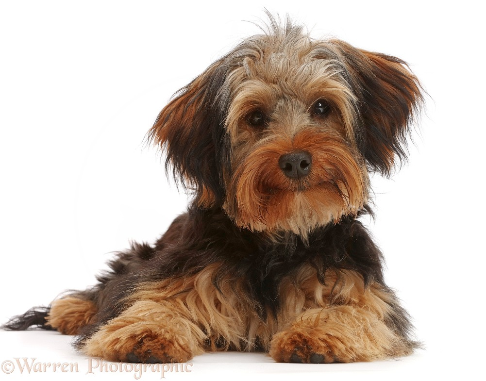 Yorkipoo dog, Oscar, 6 months old, white background