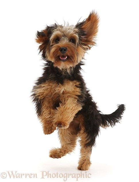 Yorkipoo dog, Oscar, 6 months old, jumping up playfully, white background